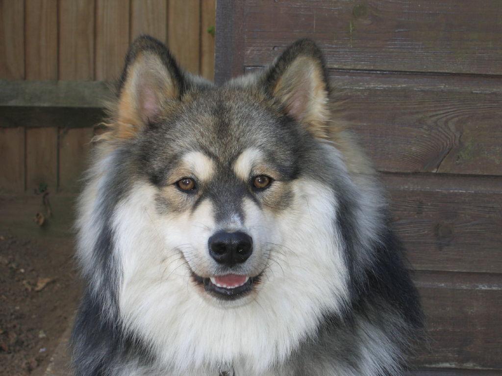 Suomen ajokoira on hyvä koira ajometsästykseen